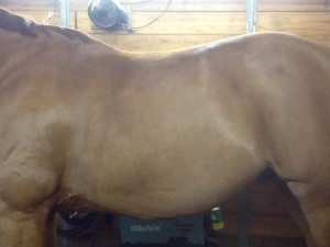 Horse Muscle | Big Dee's Horse Tack