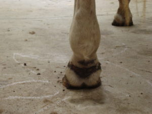 Irritation caused by Equine Mud Fever