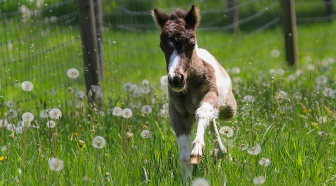 Miniature Horse Products