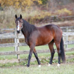 bay horse walking in pasture