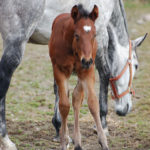bay foal standing beside grey mare